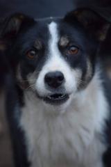 Jazzy - 1,5-jährige Hündin