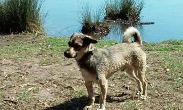 Tazy - 2 jähriger Rüde
